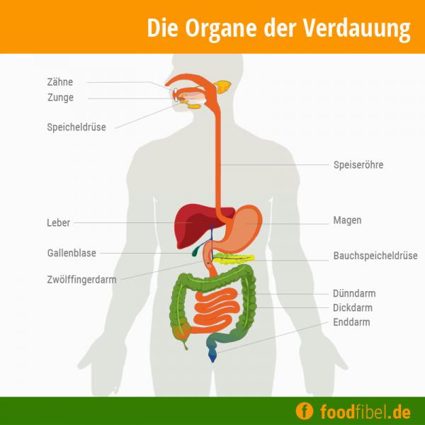 Farbige Schemagrafik der Verdauungsorgane. © foodfibel.de, eigenes Werk.