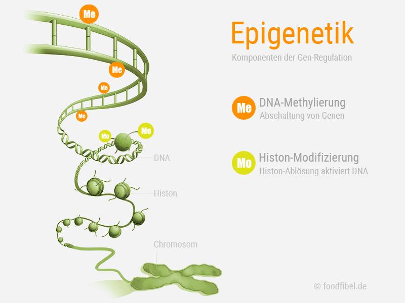 Abbildung: Epigenetik, DNA-Methylierung und Histon-Modifizierung