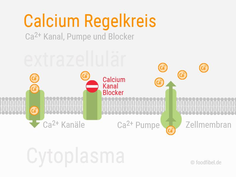 Abbildung: Zellmembran mit Calciumkanal, Calciumpumpe und Calciumkanal Blocker