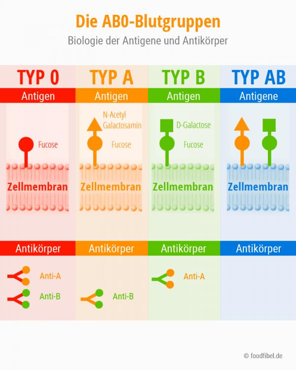 Schaubild Biochemie der Blutgruppen. Antigene, Antikörper. © foodfibel.de, eigenes Werk.