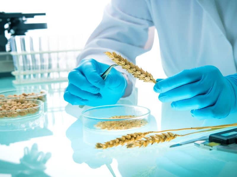 Getreide-Ähre wird im Labor untersucht. Researcher analyzing agricultural grains and legumes in the laboratory, © Alexander Raths, #123201508 123rf.com.