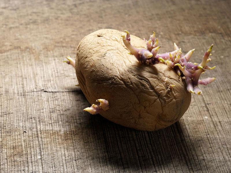 Gekeimte Kartoffel auf Holztisch. Keimknolle von Solanum tuberosum. Nahaufnahme der Natur. Foto: © Iskra Antova, # 96211604 123rf.com