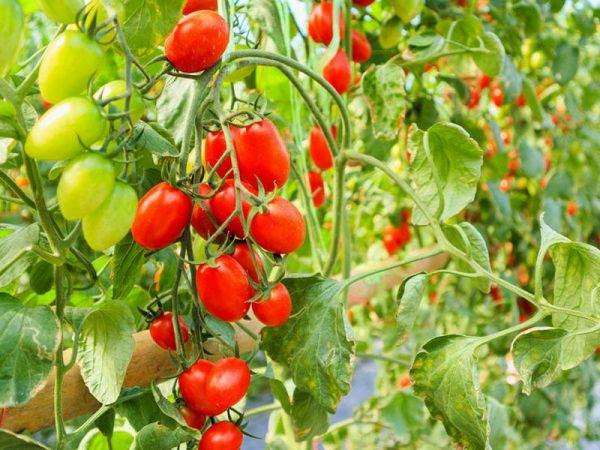 Unreife, grüne Tomaten am Strauch. Foto: Fresh ripe red tomatoes plant growth in organic greenhouse, © kwangmoo, #116742422 123rf.com.