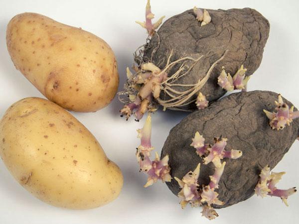 Junge und alte Kartoffeln mit Schimmel und Sprossen. © morisfoto 123rf.com.