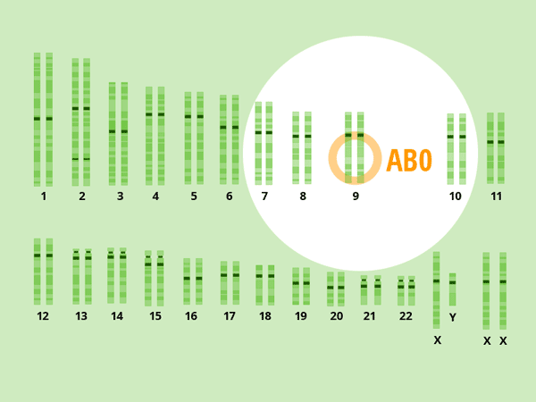 Der Chromosomensatz des Menschen. Chromosom 9 mit dem Gen für die Blutgruppe. © foodfibel.de.