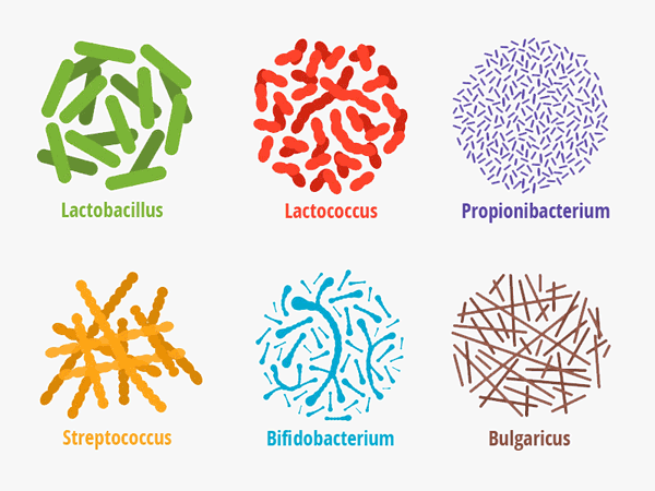 Bakterienstämme des Mikrobioms Lactobacillus, Lactococcus, Propionibacterium, Streptococcus, Bifido, Bulgaricus. ©  yevgenijd 123rf.com.