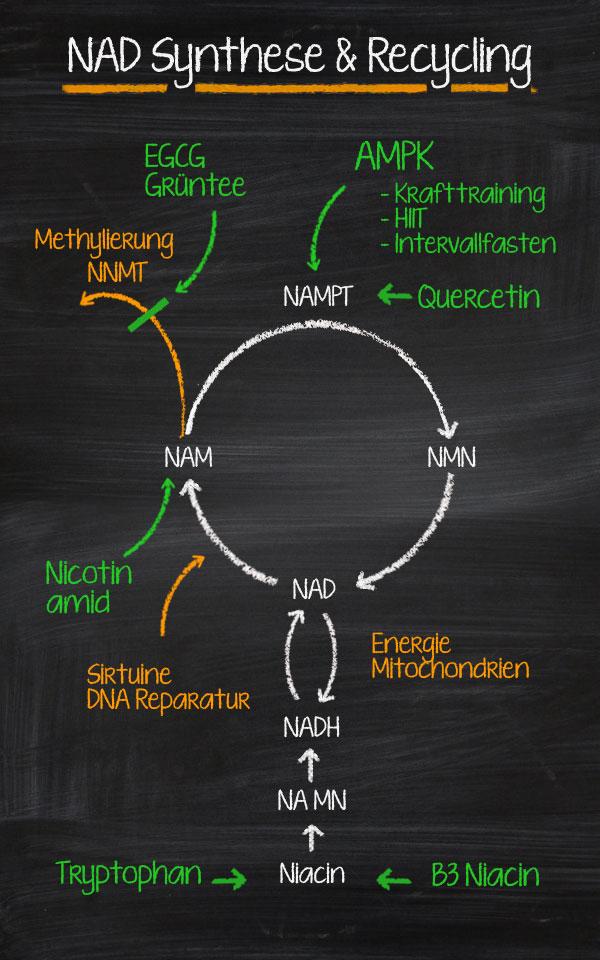 NAD Synthese und Recycling aus Niacin, NMN und Niacin. © foodfibel, eigenes Werk.